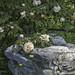 21 aprile 2018. Roma nel giorno del suo compleanno: 2771 anni.  Nel Roseto Comunale un angolo ricostruito con le rose coltivate nella Roma antica