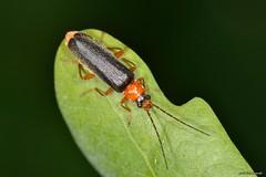 Cantharis (Cantharis) flavilabris Fallen, 1807 (Jesús Tizón Taracido) Tags: insecta coleoptera polyphaga elateriformia elateroidea cantharidae cantharinae cantharini cantharispalliata