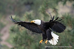 Final Approach (Gary Grossman) Tags: eagle landing mature bird predator nature wild wildlife garygrossmanphotography wildlifephotography naturephotography pacificnorthwest oregon birdofprey baldeagle baldy