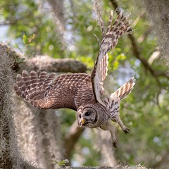 Barred owl leaves her perch to rejoin the rest of the owl family. (Rickfans76) Tags: barredowls owls wings talons feathers animals bird rickfanslerphotography nature wildlifephotography florida circlebbarreserve nikond500