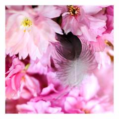 federwerk (rcfed) Tags: hasselblad digital macro flower fether color light
