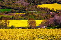 Yellow Happiness (BeNowMeHere) Tags: ifttt 500px trip balaban benowmehere blossoms canola field flowers istanbul kanola kolza landscape nature rapeseed trees turkey yellowhappiness country countryside happiness outdoor spring spring2018 travel