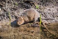 Water Vole drinking (alanrharris53) Tags: water vole river stream brook ratty bakewell derbyshire
