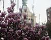 Magnolias With Con Ed Building (edenpictures) Tags: magnolia unionsquarepark newyorkcity nyc manhattan spring flowers conedbuilding