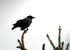 Blackbird (michaeldantesalazar) Tags: crow blackbird bird nature canada tree trees perch fly flight black wing wings raven dark spruce pine