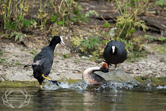 _DSC6577 (Bartek Olszewski) Tags: grebe birds ducks nature nikon nikond4s natureperfectionthernature perkoz wildlifephotography water