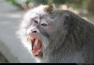 Angry macaque, Ubud Monkey Forest, Bali, Indonesia
