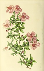 n237_w1150 (BioDivLibrary) Tags: france gardening horticulture periodicals harvarduniversitybotanylibraries bhl:page=49666495 dc:identifier=httpsbiodiversitylibraryorgpage49666495 botany artist:viaf=7201995 artist:name=alfredriocreux illustrator:wikidata=q19666218 taxonomy:binomial=monochaetumnaudinianum taxonomy:binomial=monochaetumcalcaratum species:wikidata=q15400343