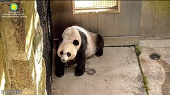 2018_06-14b (gkoo19681) Tags: meixiang beautifulmama sopretty proudmama adorableears fuzzywuzzy patientlywaiting precious adorable toocute brighteyed listening onalert perfection amazing ccncby nationalzoo