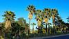 Washingtonia Palms (EmperorNorton47) Tags: portolahills california photo digital spring palms washingtonia trees goldenhour