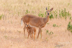 White-tailed Deer fawn and doe keep watch