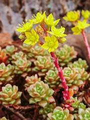 X Cremnosedum ´Little Gem´ 3779-2; Crassulaceae (2)