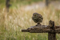 _MG_5978_LR-2_ME (ronaldcjansen) Tags: canoneos80d owl steenuil tamron100400mm vogelhut screechowl