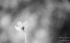 Lueur cosmique - Cosmic glow (croqlum) Tags: bokeh noiretblanc fleur blackandwhite monochrome flower macro bw macrophotography cosmos nb macrophotographie
