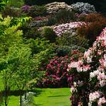 Rhododendrons at Riverhill Himalayan Gardens thumbnail