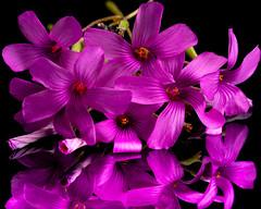 Purple Oxalis (ClintHeeeerod) Tags: oxalis flower bloom purple magenta wildflower garden speedlight acrylic reflection black nikon nikkor 105mmf28d