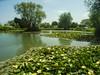 Essex Stambridge Fishing Lakes. (daveknight1946) Tags: essex stambridge waterlilies fishing fishinglakes
