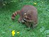 Waschbär / Raccoon (Teresa (be there...)) Tags: szop pracz raccoon アライグマ waschbär löwenzahn