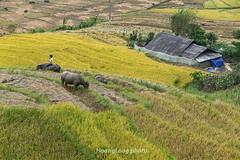 _Y2U4113.0914.Sử Pán.Sapa.Lào Cai (hoanglongphoto) Tags: asia asian vietnam northvietnam northwestvietnam landscape scenery vietnamlandscape vietnamscenery sapalandscape harvest harvestinsapa buffalow buffalo hillside home house canon canoneos1dx canonef70200mmf28lisiiusm riceterraced tâybắc làocai sapa sửpán phongcảnh phongcảnhsapa lúachín mùagặt sapamùagặt sapamùalúachín ngôinhà sườnđồi đàntrâu trâu
