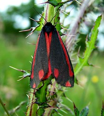 Cinnabar Moth  Tyria jacobaeae (ERIK THE CAT Struggling to keep up) Tags: lepidoptera staffordshire moths allimoregreen swt tyriajacobaeae