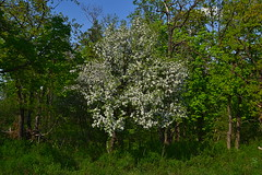 Blossoming on the edge (МирославСтаменов) Tags: russia mogutova zhiguli apple tree blooming edge forest