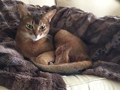 Little guy - 2018 (Stinnie) Tags: abbysinian pet cat pictbystinnie kittysuperstar