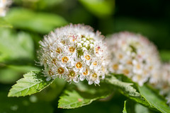 Bunches (rg69olds) Tags: 05262018 35mm 5dmk4 canoneos5dmarkiv lauritzengardens nebraska sigma35mmf14artdghsm art bloom canon flower flowers omaha plant sigma bunches blossom white tiny 35mmf14dghsm|a
