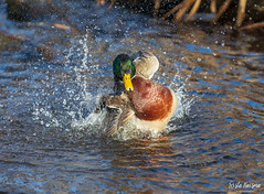 SO8A6282 (Risto Kuisma) Tags: water finland bird mallard duck droplets