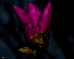 In Between Darnkness & Light (that_damn_duck) Tags: nikon plant nature flower petals blossom blooming