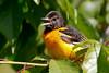 baltimoreoriole_53F0442 (~ Michaela Sagatova ~) Tags: dundasvalley baltimoreoriole birdphotography canonphotography michaelasagatova oriole