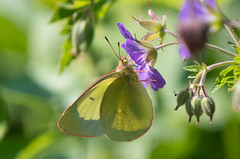 Moorland Clouded Yellow (Tim Melling) Tags: colias palaeno moorland clouded yellow male sweden wood cranesbill geranium sylvaticum timmelling
