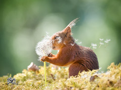 red squirrel with dandelion seeds (Geert Weggen) Tags: change dandelion nature wind springtime newlife freedom aspirations lifestyles luck flower wishing backgrounds concepts allergy summer pollen individuality dandelionseed season time environmentalconservation greencolor sunlight field nopeople seed flying enjoyment fragility meadow environment growth morning photography blossom seedling uncultivated weeding freshness beautyinnature copyspace horizontal plant midair plantstem redsquirrel squirrel animal geert weggen ragunda sweden jämtland bispgården