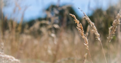 Seeds for Thought (benjamin.t.kemp) Tags: wheat farm plants beige agriculture nature bokeh calm serene calming