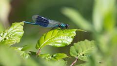 Banded Demoiselle male (Calopteryx splendens) - Culm River, Cullompton, Devon - 15 June 2018 (Dis da fi we) Tags: banded demoiselle male calopteryx splendens culm river cullompton devon