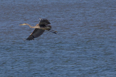 IMG_2481 (armadil) Tags: mavericks beach beaches bird birds flying californiabeaches heron greatblueheron blueheron