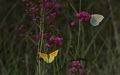 Citron de Provence - IMBF1531 (6franc6) Tags: papillon occitanie languedoc gard 30 milhaud juin printemps 2018 6franc6 vélo kalkoff vae