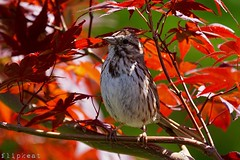 Let Me Sing Your Blues Away (flipkeat) Tags: nature wildlife melospiza melodia bird birds song sparrow birdwatching birding awesome sony a77ii portcredit beautiful