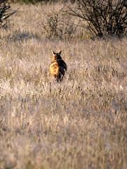 Fox or Jackal? (Nevrimski) Tags: fox jackal namibia