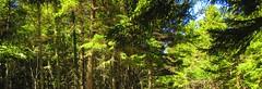 Irving Nature Park, Saint John - New Brunswick (jeffglobalwanderer) Tags: naturereserve saintjohn newbrunswick canada coastalpark nature forest trees spruceforest