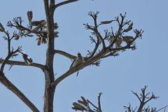 IMG_1308 (armadil) Tags: sanfrancisco sanfranciscobotanicalgarden sfbotanicalgarden bird birds woodpecker woodpeckers motherhood spring downywoodpecker downywoodpeckers agave