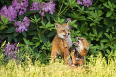 Child's (kit) Play... (DTT67) Tags: redfoxkits babyfox kits 500mm 5dmkiv canon spring maryland siblings animals wildlife nature