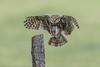 R18_1204 (ronald groenendijk) Tags: cronaldgroenendijk 2018 athenenoctua littleowl rgflickrrg animal bird birds copyrightronaldgroenendijk europe nature natuur natuurfotografie netherlands outdoor owl owls ronaldgroenendijk steenuil uil uilen vogel vogels