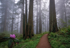 R&R (Sapna Reddy Photography) Tags: redwoods redwoodforest delnorte coastal california forest rhododendron sempervirens sequoia nationalforest nps woods path trail flowers nature landscape wood tree trees mystic fog