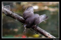 Black Phoebe-7 (billthomas_steel) Tags: blackphoebe sayornisnigricans bird rarebird fraservalley wildlife flycatcher britishcolumbia canada canon eos7dmarkii nestbuilding