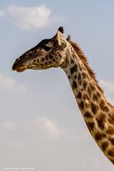 2017.06.23.5980 Giraffe (Brunswick Forge) Tags: 2017 safari grouped africa tanzania serengeti nature wildlife favorited