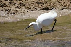 Snowy Egret Ready Posed To Catch Lunch (fethers1) Tags: rockymountainarsenalnwr rmanwr rmanwrwildlife coloradowildlife birds shorebird snowyegret