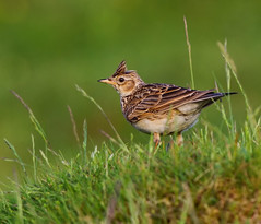 Eurasian Skylark (alauda arvensisa )  - On watch !! (Clive Brown 72) Tags: uplands wales moorland lark singing crest skylark