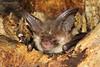 Brown Long-eared Bat, Plecotus auritus (Midlands Reptiles & British Wildlife Diaries) Tags: brownlongearedbat plecotusauritus staffordshire bats bat nocturnal bigears roost batroost tree nature travel mammal wings davidnixon davidnixonphotography bct project consallnaturepark consallvalley