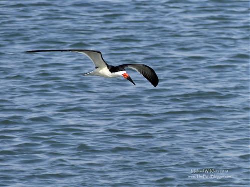 Black Skimmer - Huntington Beach, CA