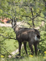 Evaluation des risques (Titole) Tags: chamois titole nicolefaton jura wildlife wild